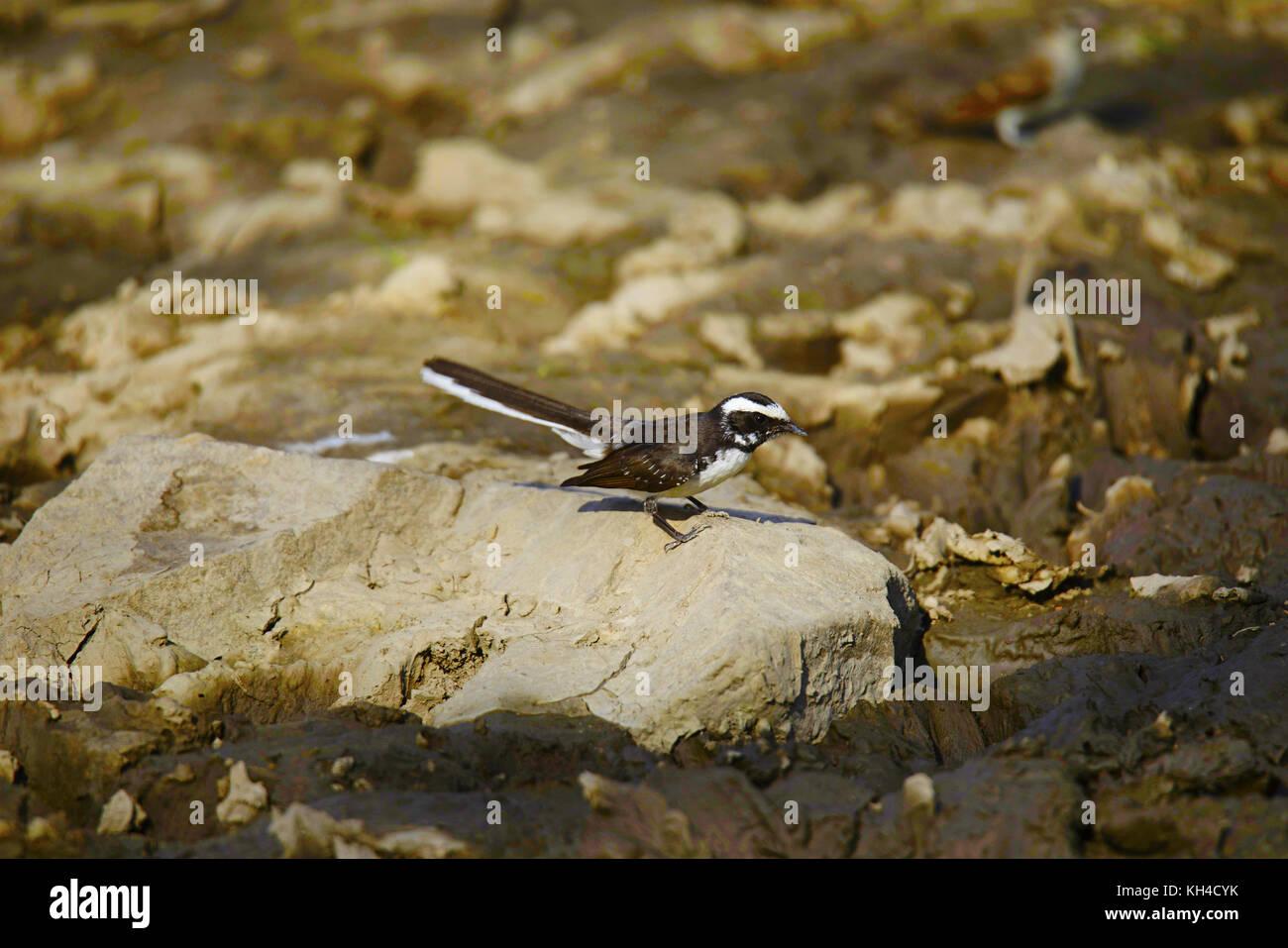 White-browed Fantail Flycatcher, Rhipidura aureola, Panna Tiger Reserve, Madhya Pradesh - Stock Image