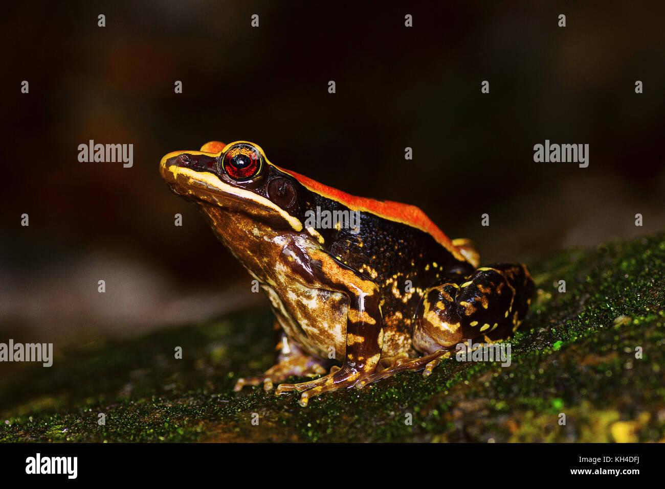 Fungoid Frog, Hylarana malabarica, Mulshi, Pune District, Maharashtra, India - Stock Image