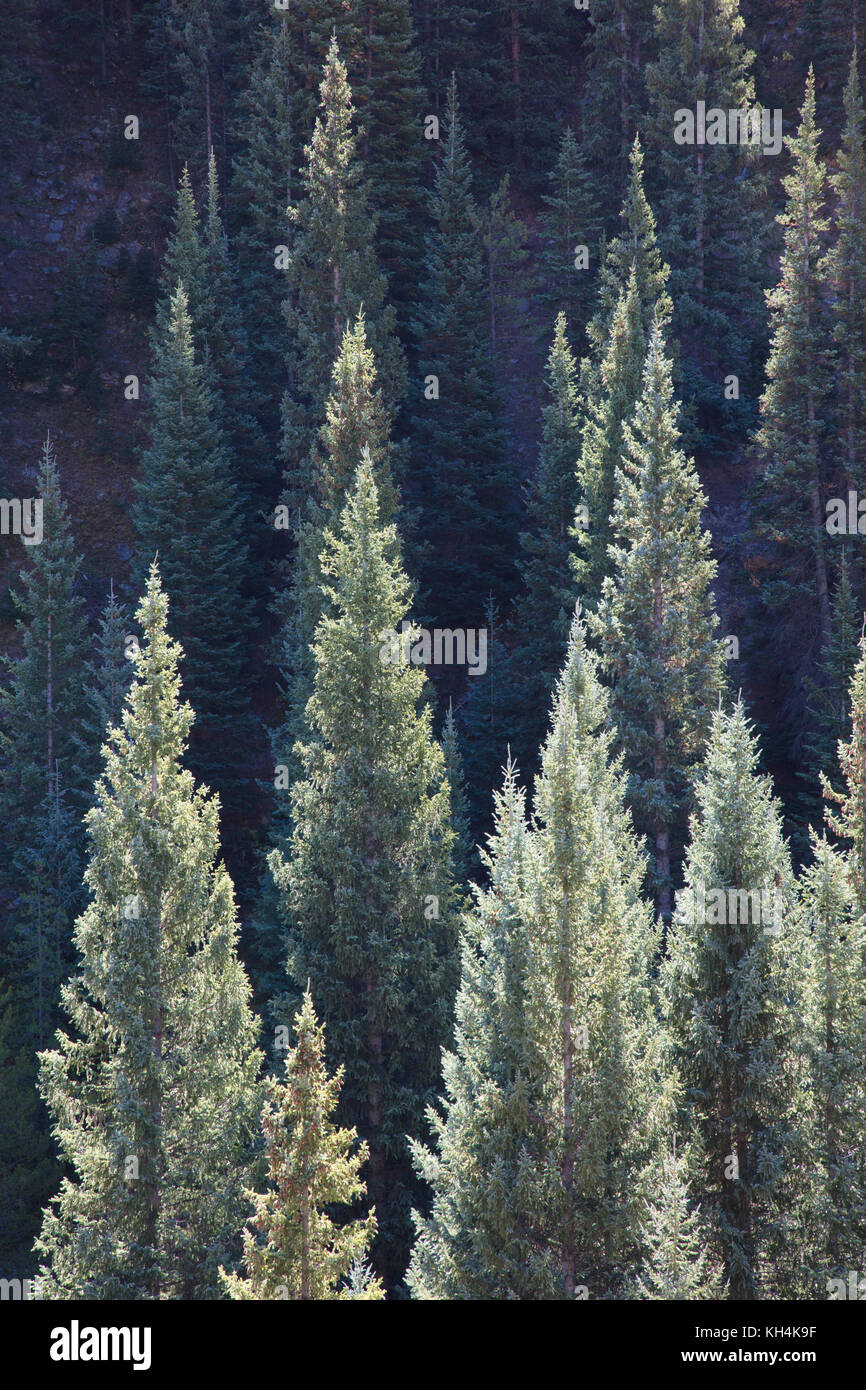 Sunlit conifers in Kebler Pass near Crested Butte Colorado America in the morning sun - Stock Image