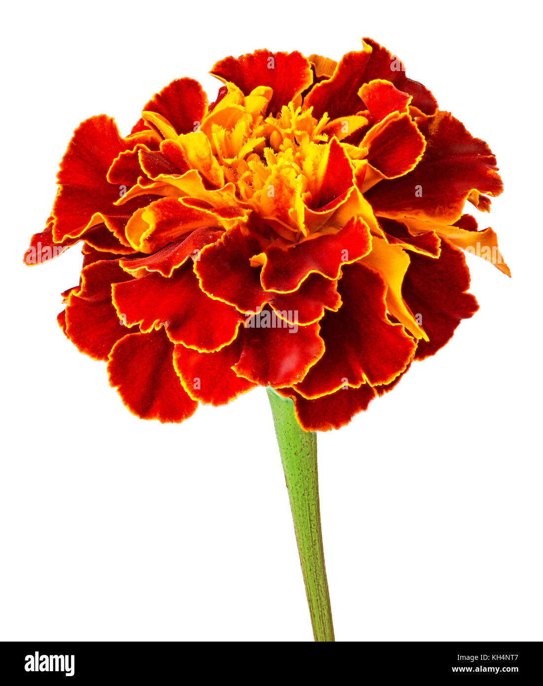 Marigold flower isolated on white background stock photos marigold marigold flower isolated on white background clipping path full depth of field mightylinksfo