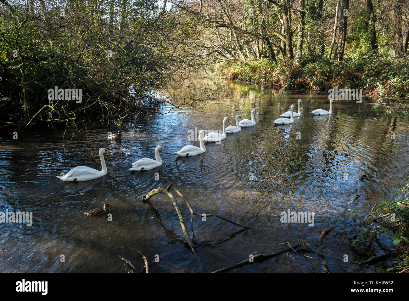 Swans on a lake in Tehidy Country Park Cornwall UK. - Stock Image