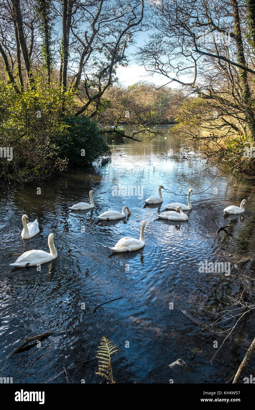 Swans on a lake in Tehidy Woods Cornwall UK - Stock Image