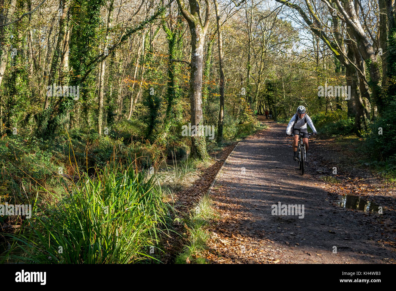 A mountain biker cyclist riding along a track in an autumnal Tehidy Country Park Cornwall UK. - Stock Image