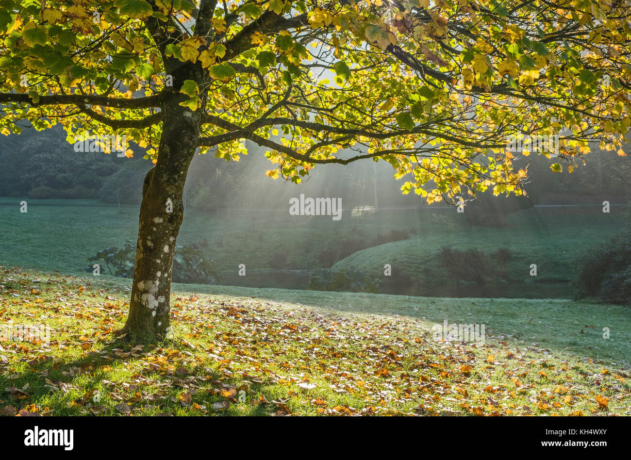 A Beech tree with backlighting showing the autumn colours in the leaves with sun rays in the background landscape, - Stock Image