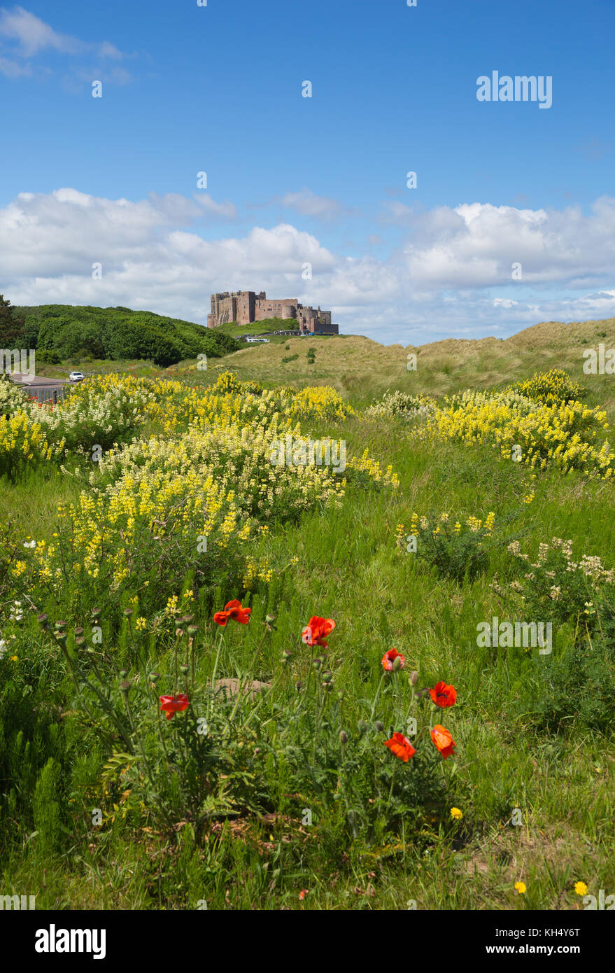 Bamburgh Castle Northumberland north east England UK red flowers in foreground - Stock Image