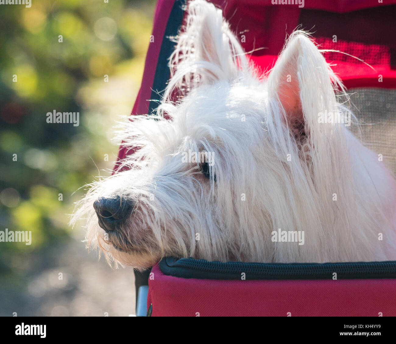 Cute west highland terrier (westie) dog  in pet stoller (pram) enjoys a ride in the  park - Stock Image