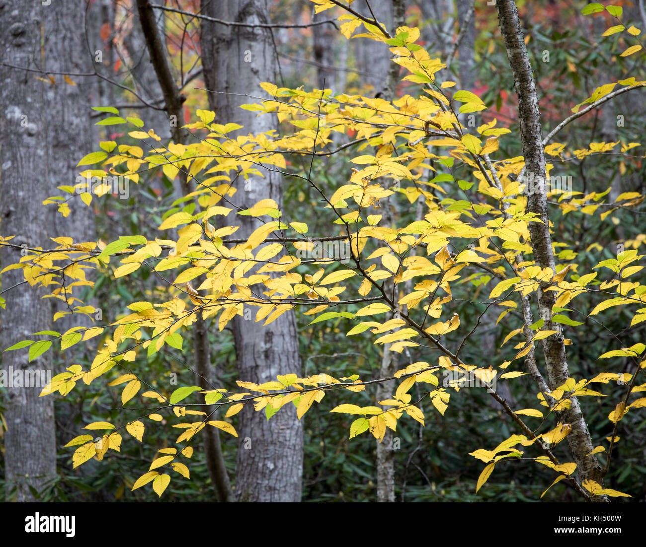 The Yellow Birch (Betula alleghaniensis) typically grows in the northeastern part of the United States.  Its habitat - Stock Image