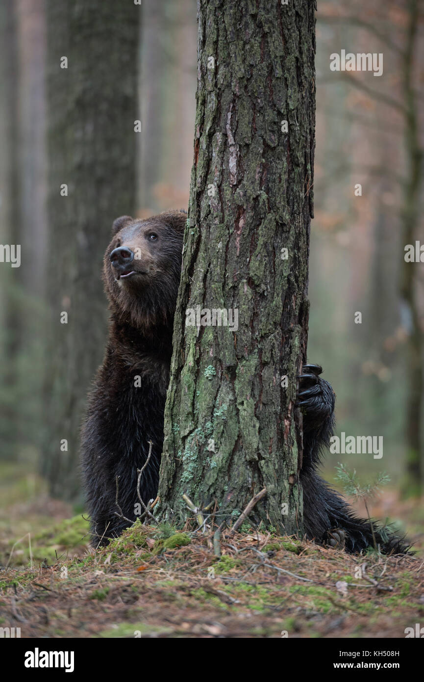 Brown Bear / Braunbaer ( Ursus arctos ), playful adolescent, hiding behind a tree, looks like playing hide and seek, - Stock Image