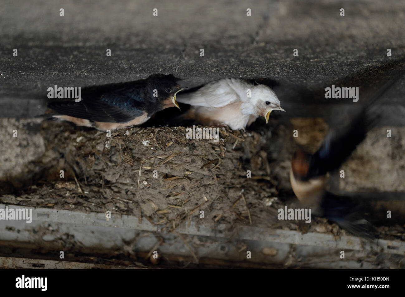 Barn Swallows ( Hirundo rustica ), adult feeding its chicks in nest, two of them with white plumage, leucistic, - Stock Image