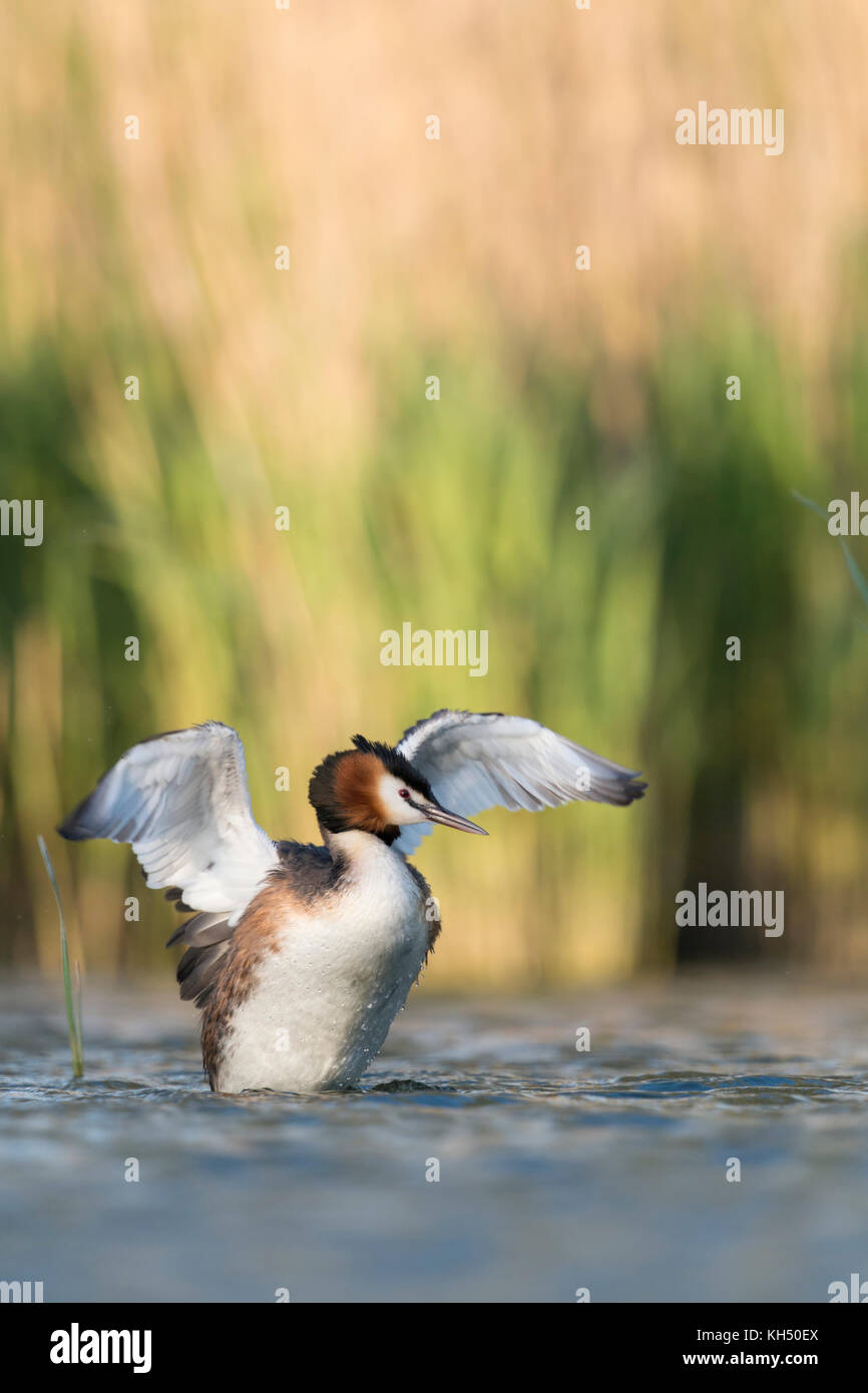 Great Crested Grebe / Haubentaucher ( Podiceps cristatus ) rearing, stretching out of the water, flapping its wings, - Stock Image