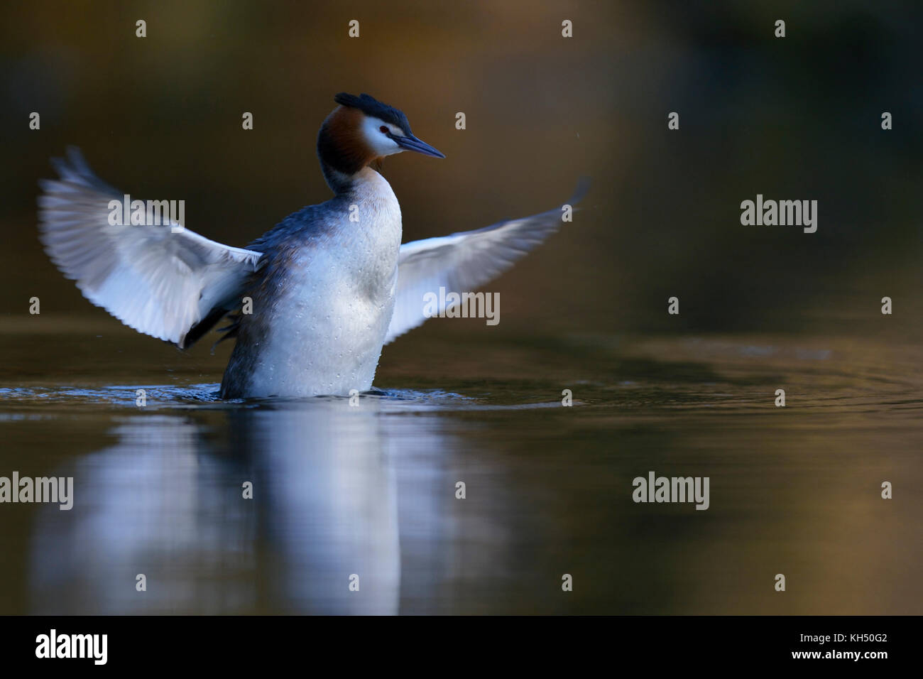Great Crested Grebe ( Podiceps cristatus ) rearing, stretching out of the water, flapping wings, taking care for - Stock Image