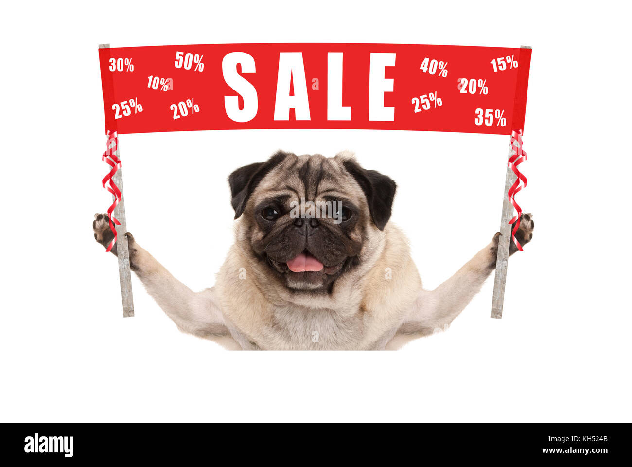 happy cute pug puppy dog holding up red promotional  banner sign with text sale % off, isolated on white background - Stock Image