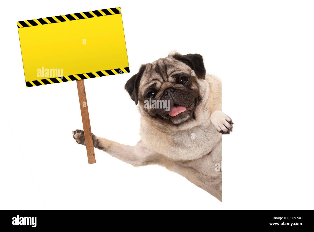 smiling pug puppy dog holding up blank rectangular  yellow warning sign, isolated on white background - Stock Image