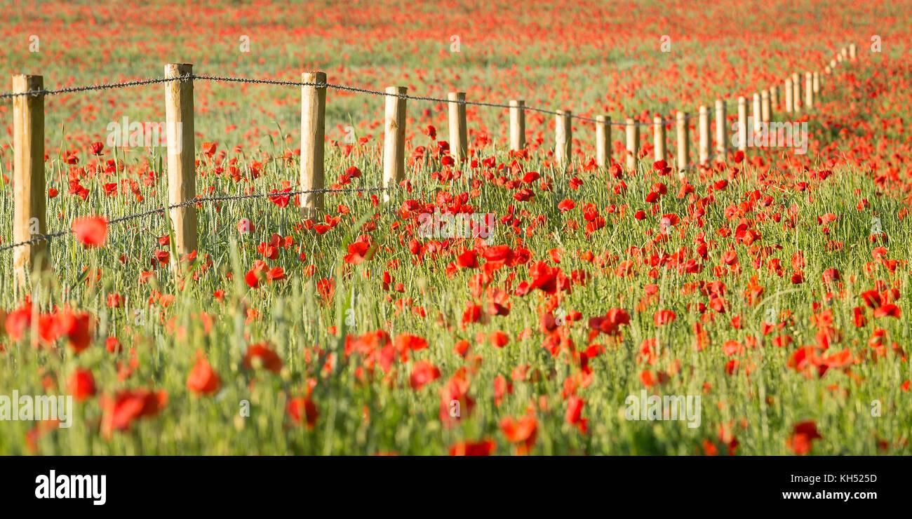 Kent Poppies Stock Photos Amp Kent Poppies Stock Images Alamy