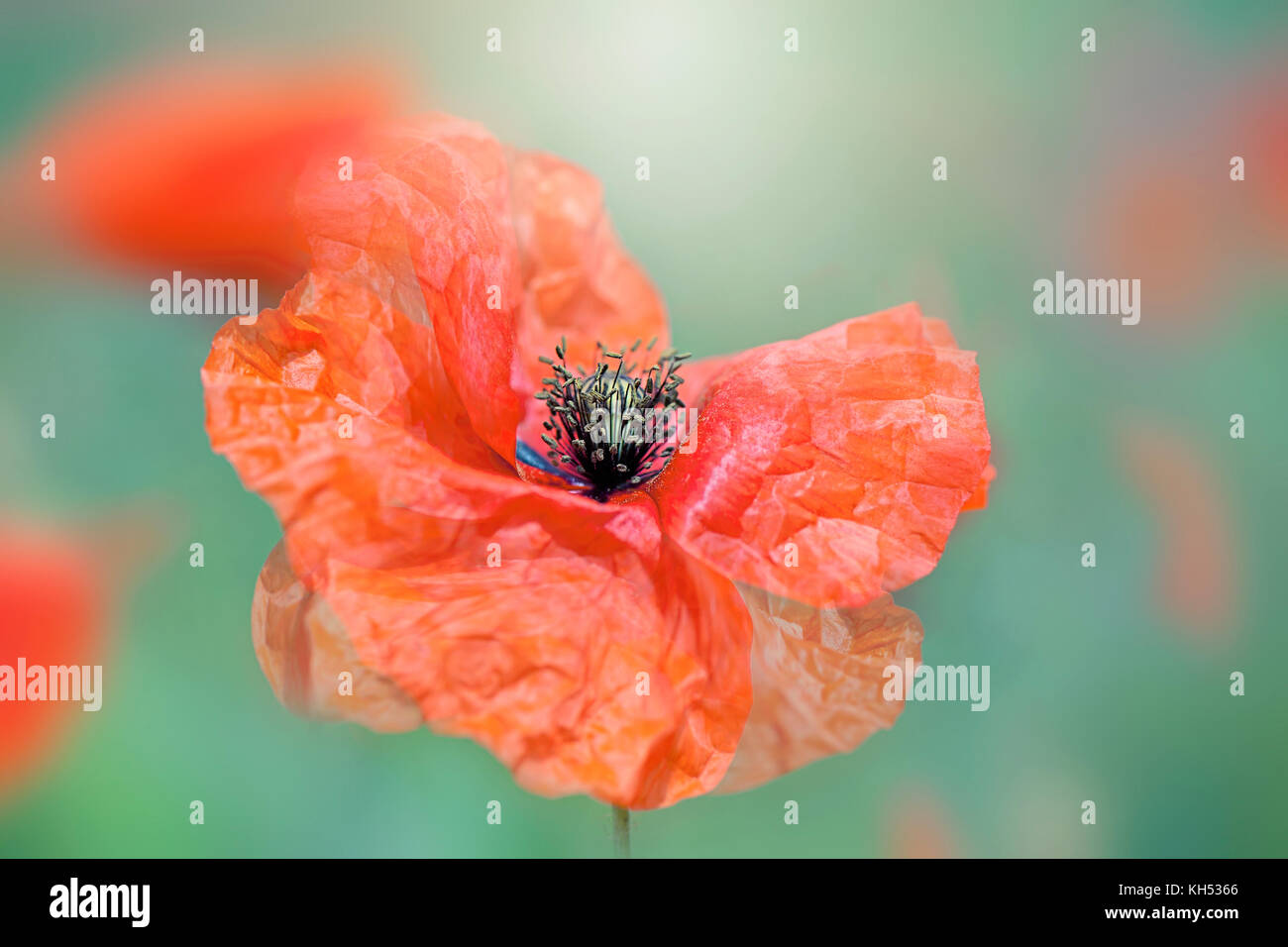 Close-up image of a single red poppy flower a symbol of remembrance on Armastice day - Stock Image