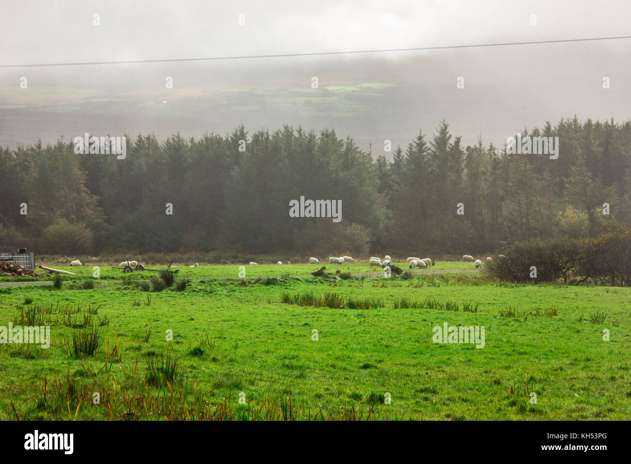 a herd of sheep on a green field and dry tree - Stock Image