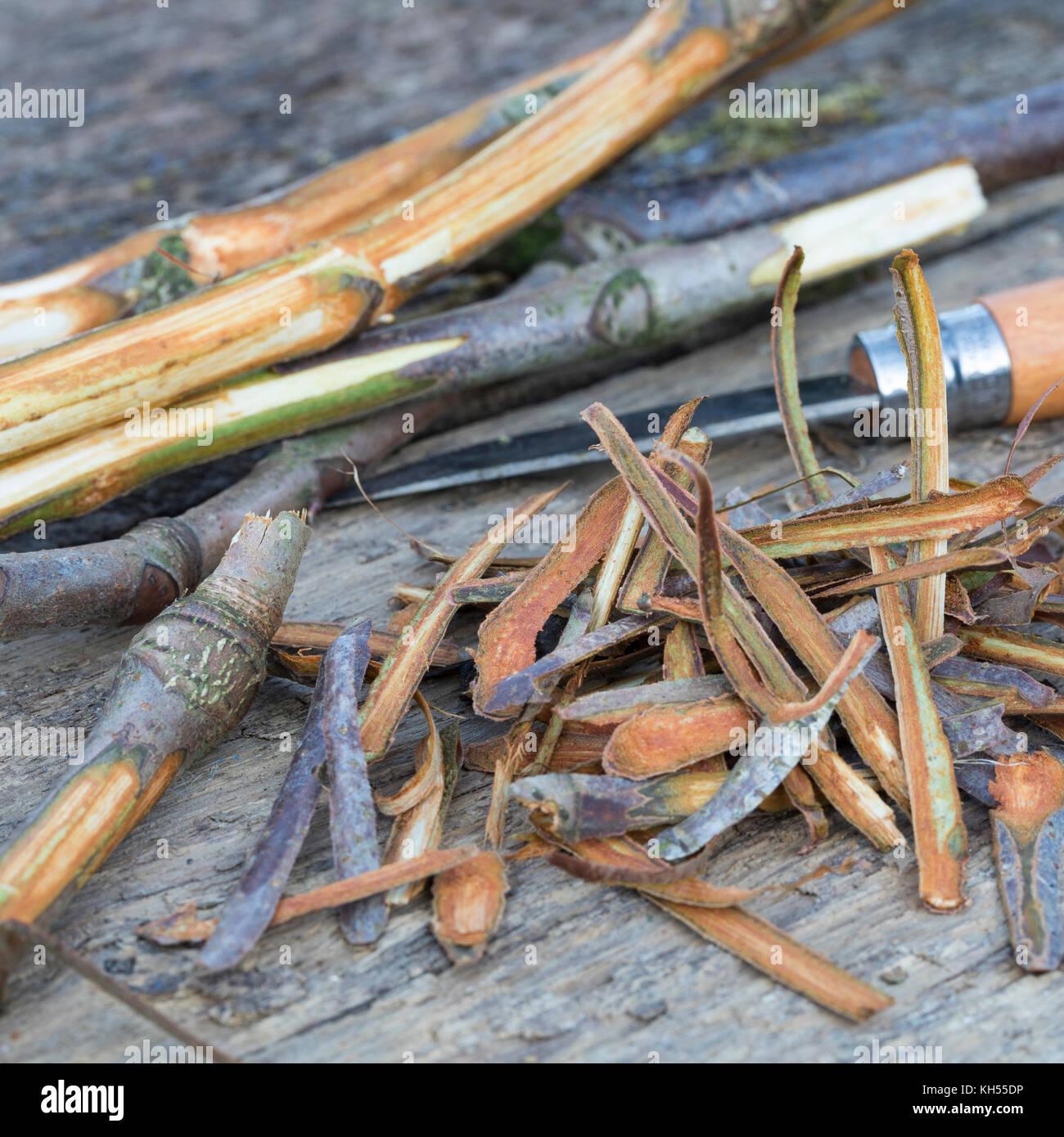 Rosskastanie-Rinde, Rosskastanien-Rinde, Rinde wird mit Messer abgeschält, getrocknet und zu Heilzwecken genutzt, - Stock Image