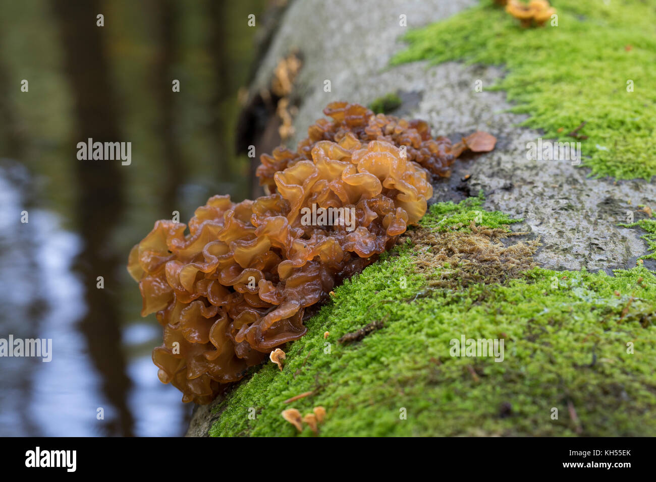 Rotbrauner Zitterling, Blattartiger Zitterling, Tremella foliacea, Pseudotremella pseudofoliacea, Exidia foliacea, - Stock Image