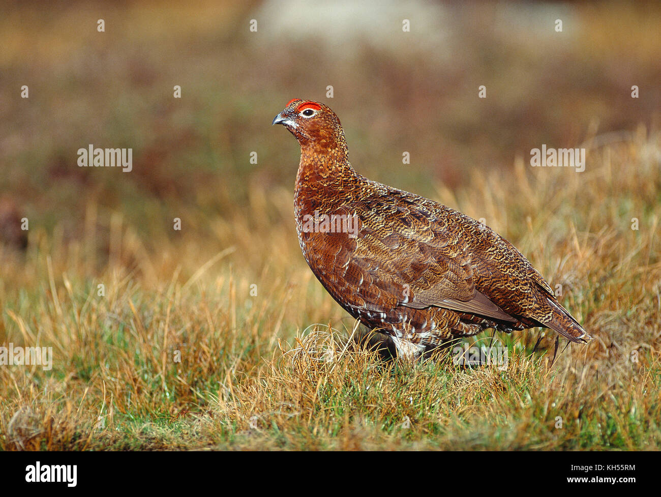 UK. North Yorkshire Dales. Red Grouse on Reeth High Moor. - Stock Image