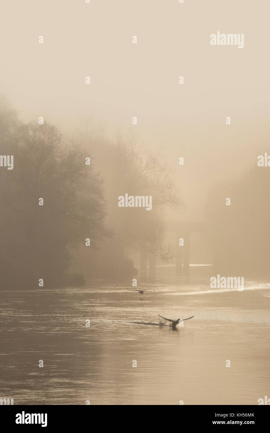 Swans at dawn on the River Wye. - Stock Image