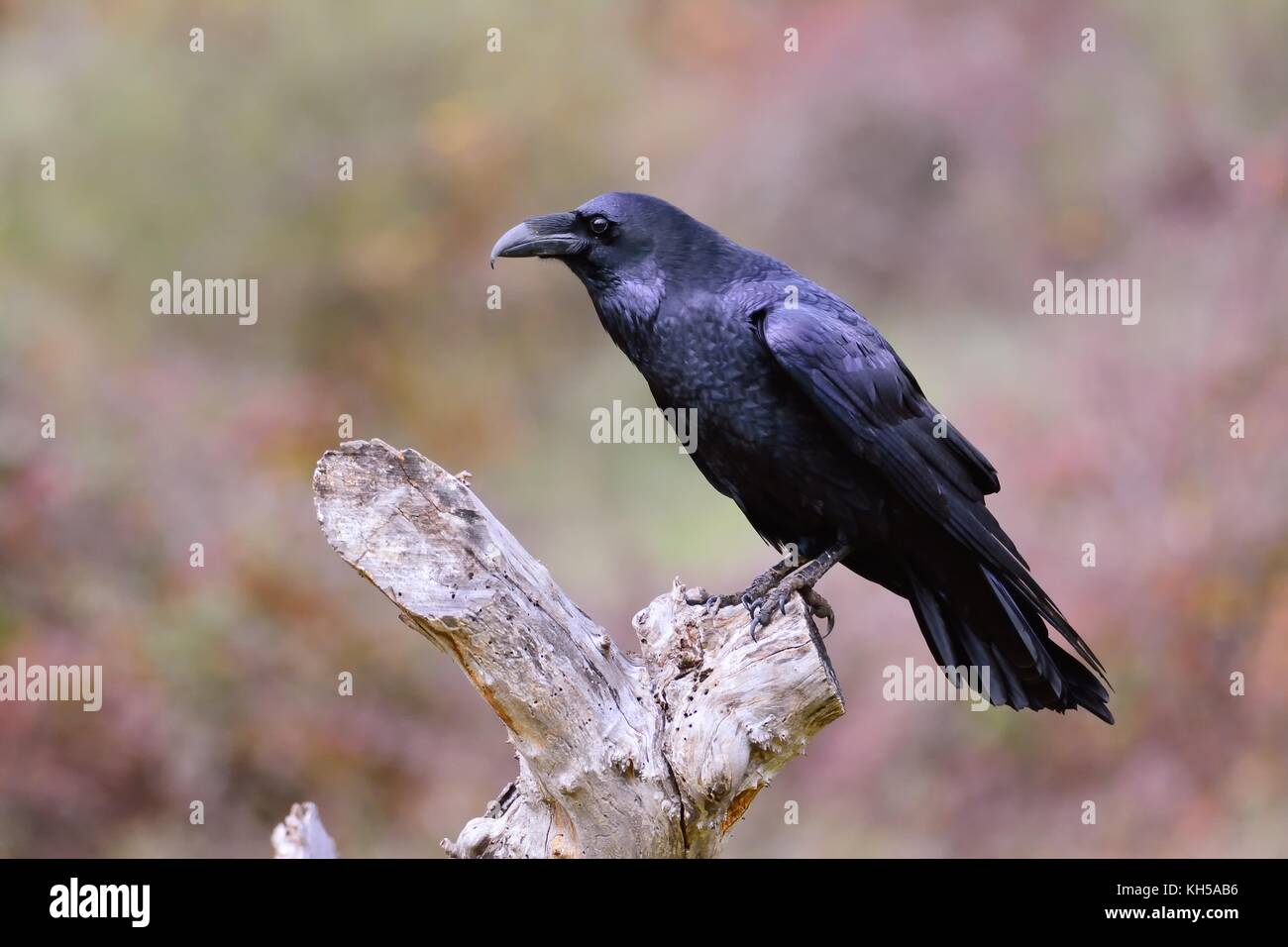 Black Raven, Corvus corax in autumn time. Looking for something to eat. - Stock Image