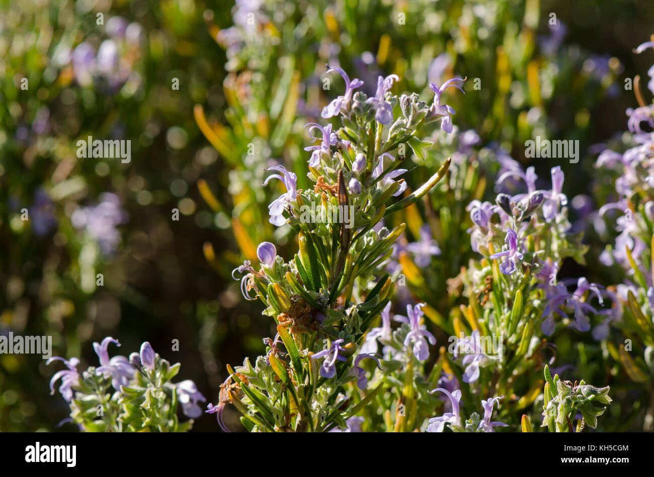 When the wild rosemary blooms: description, properties, features and reviews 59