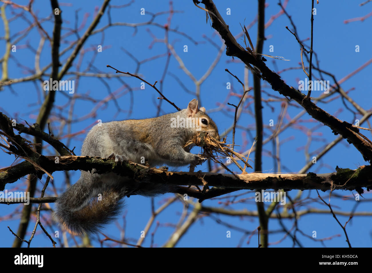 Grey Squirrels Uk Stock Photos & Grey Squirrels Uk Stock Images - Alamy