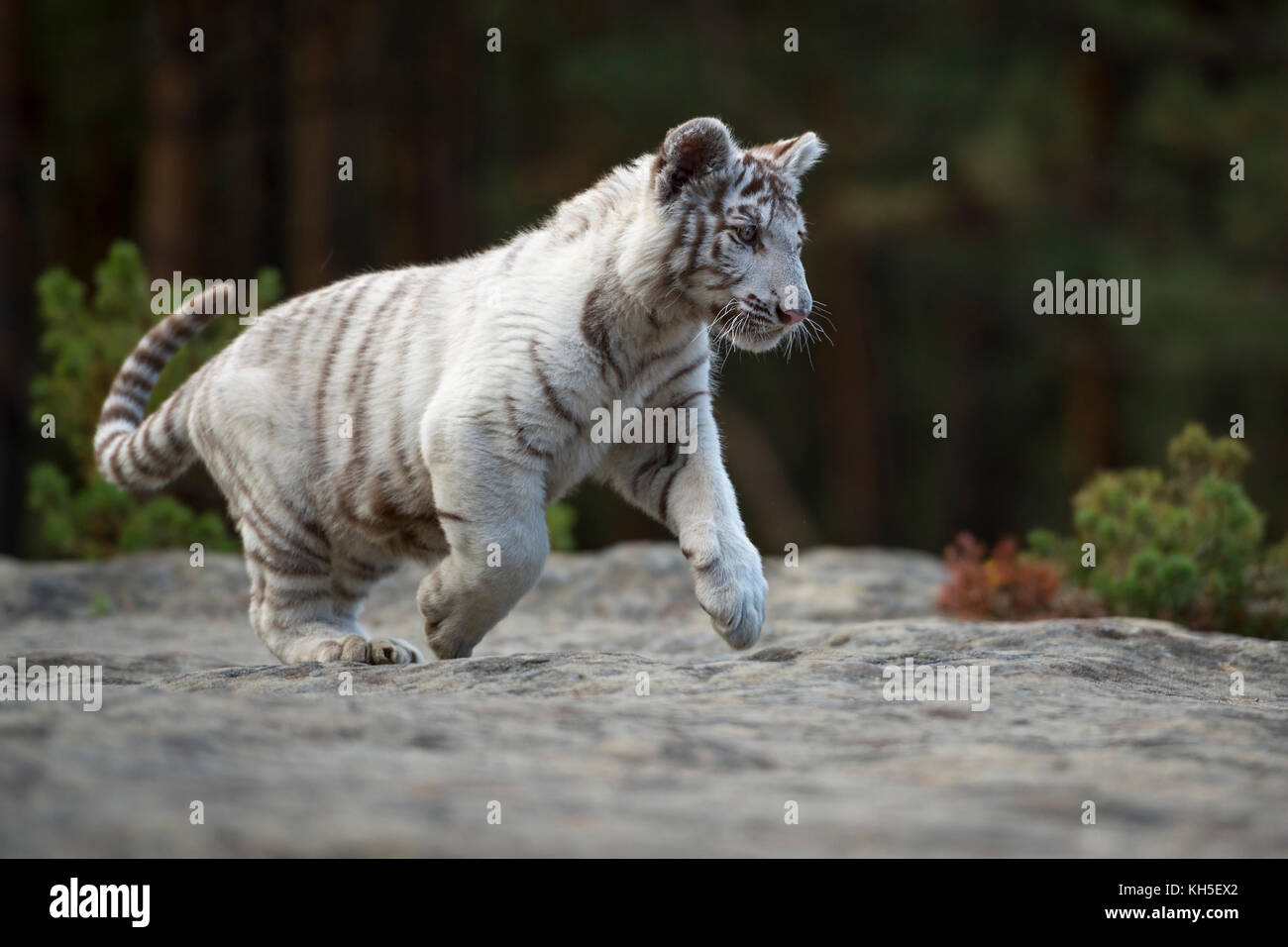 Bengal Tiger ( Panthera tigris ), white, young animal, adolescent, running, jumping over some rocks along the edge - Stock Image