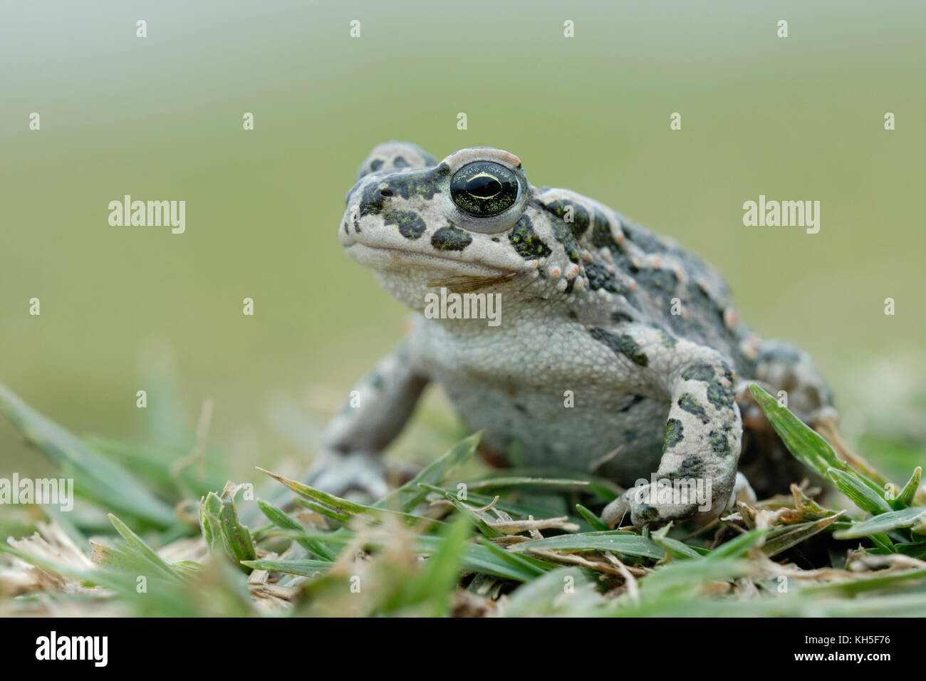 Green Toad ( Bufotes viridis ), female, sitting, couching in grass on the ground, typical pose, detailed frontal - Stock Image