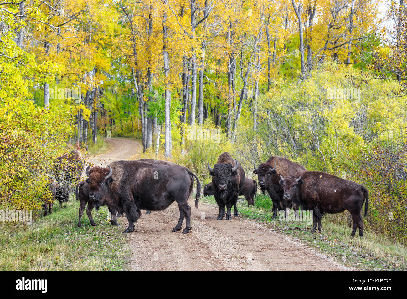 Plains Bison, (Bison bison bison) or American Buffalo, Riding Mountain National Park, Manitoba, Canada. Stock Photo