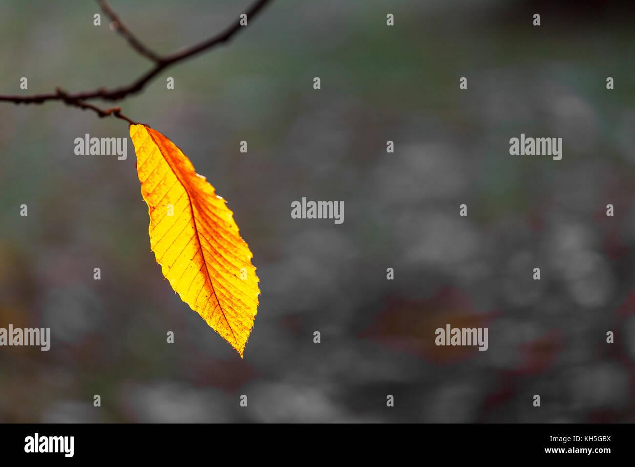 Eichenblätter im Herbst, Rahme,Hintergrund für eine Trauerkarte Stock Photo