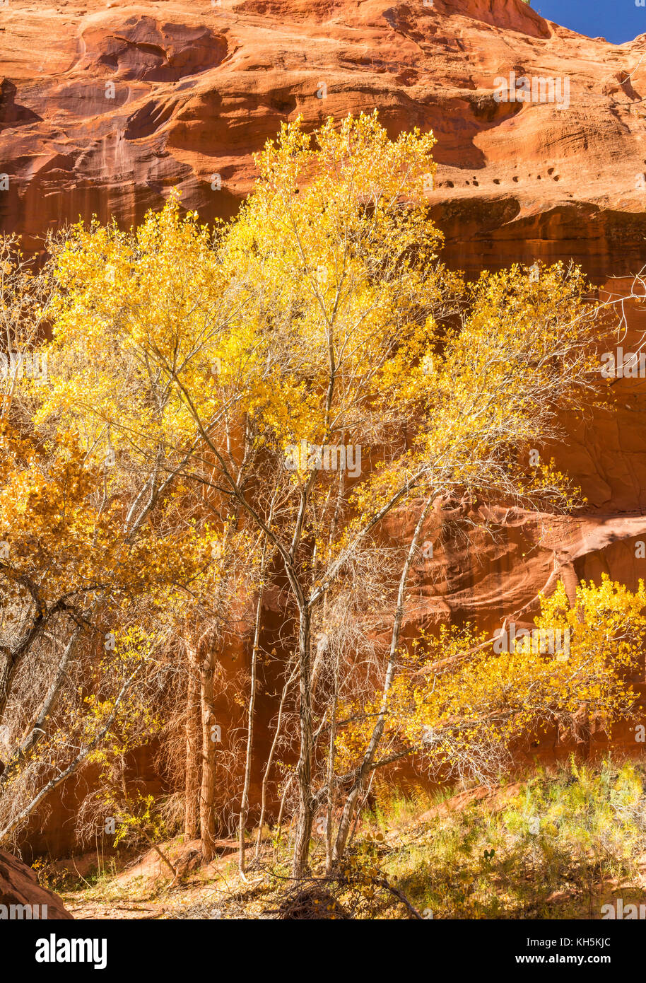 Cottonwood Trees in full Autumn color in Neon Canyon, Grand Staircase Escalante National Monument, Utah. Stock Photo