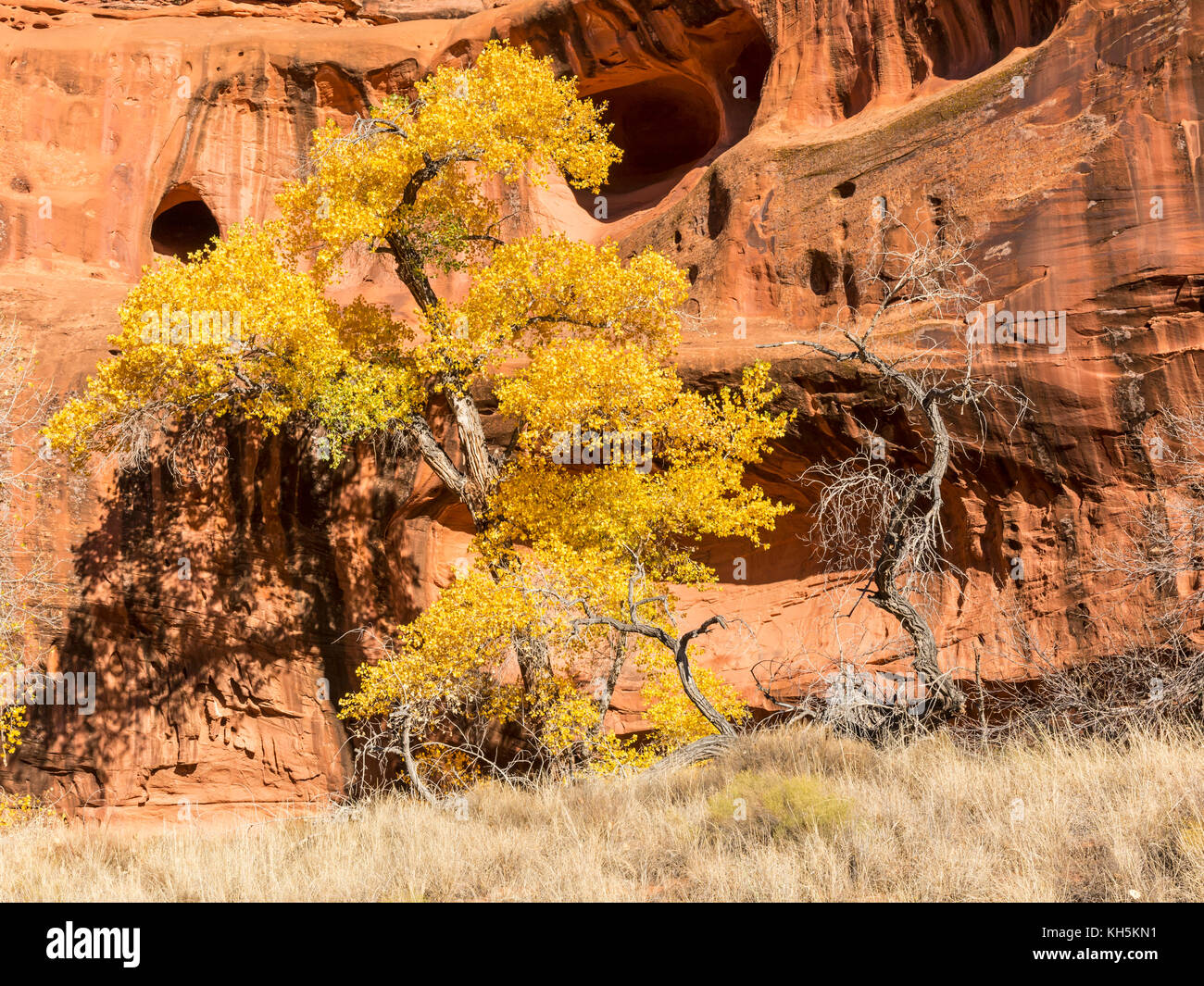 Cottonwood Trees in full Autumn color against the red rock cliffs and caves of Neon Canyon, Grand Staircase Escalante Stock Photo