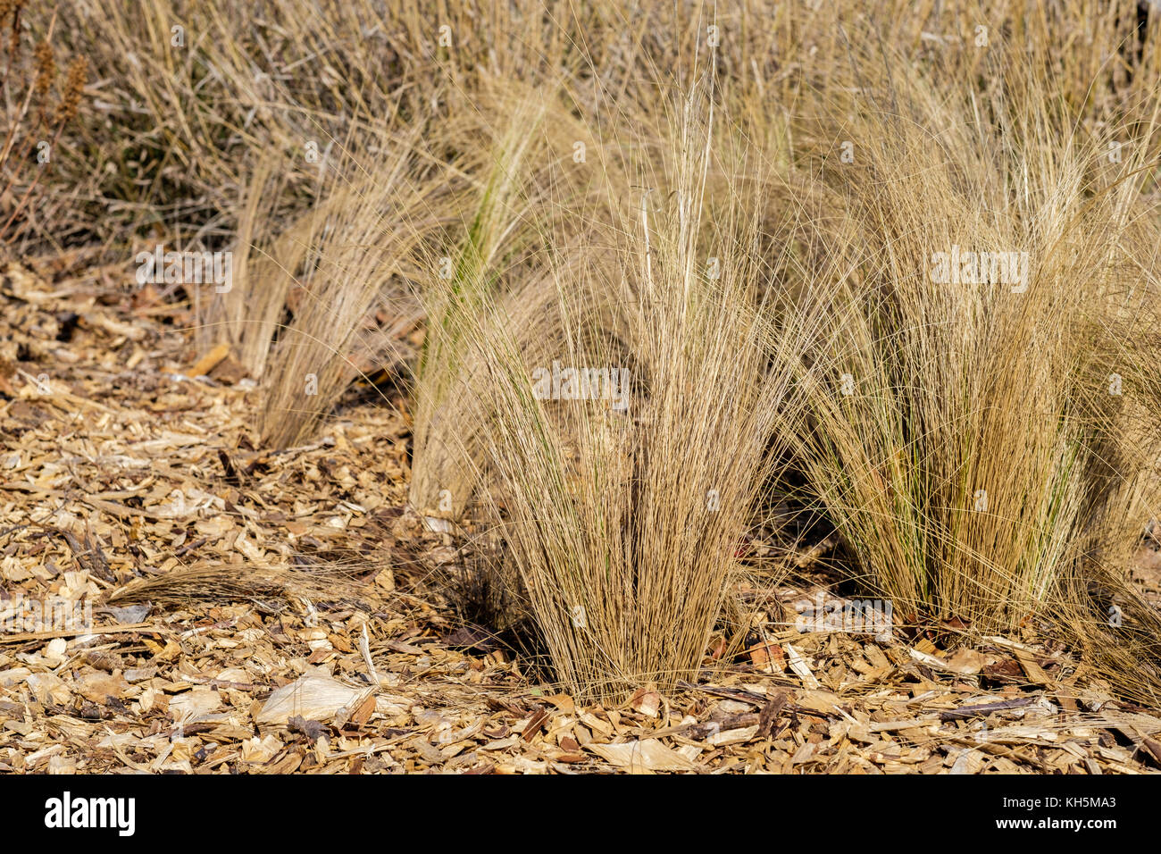 Dead Mexican feathergrass,Nassella tenuissima, after a freeze in Oklahoma, USA. - Stock Image