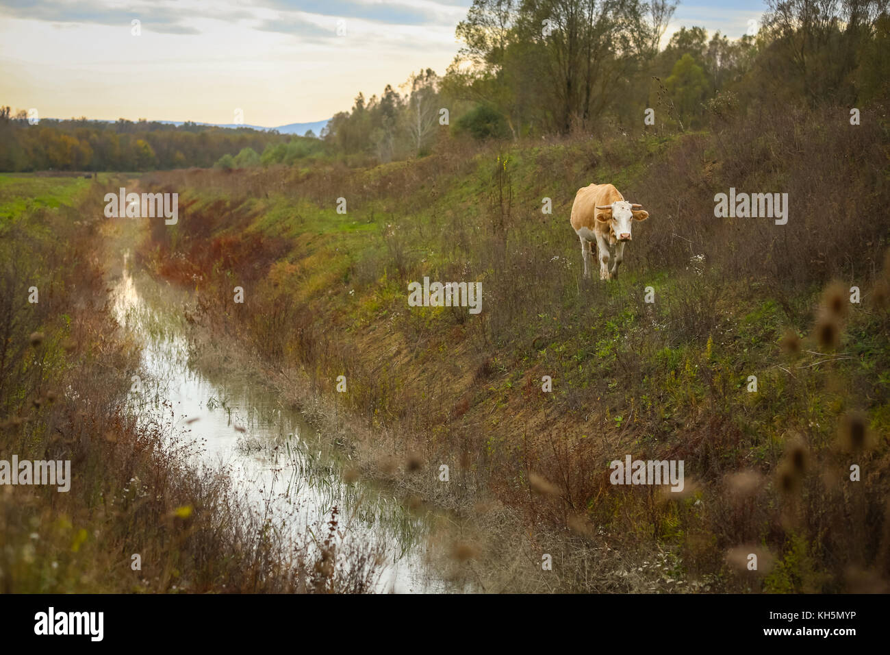 A view of a cow in countryside walking next to a stream at sunset. - Stock Image