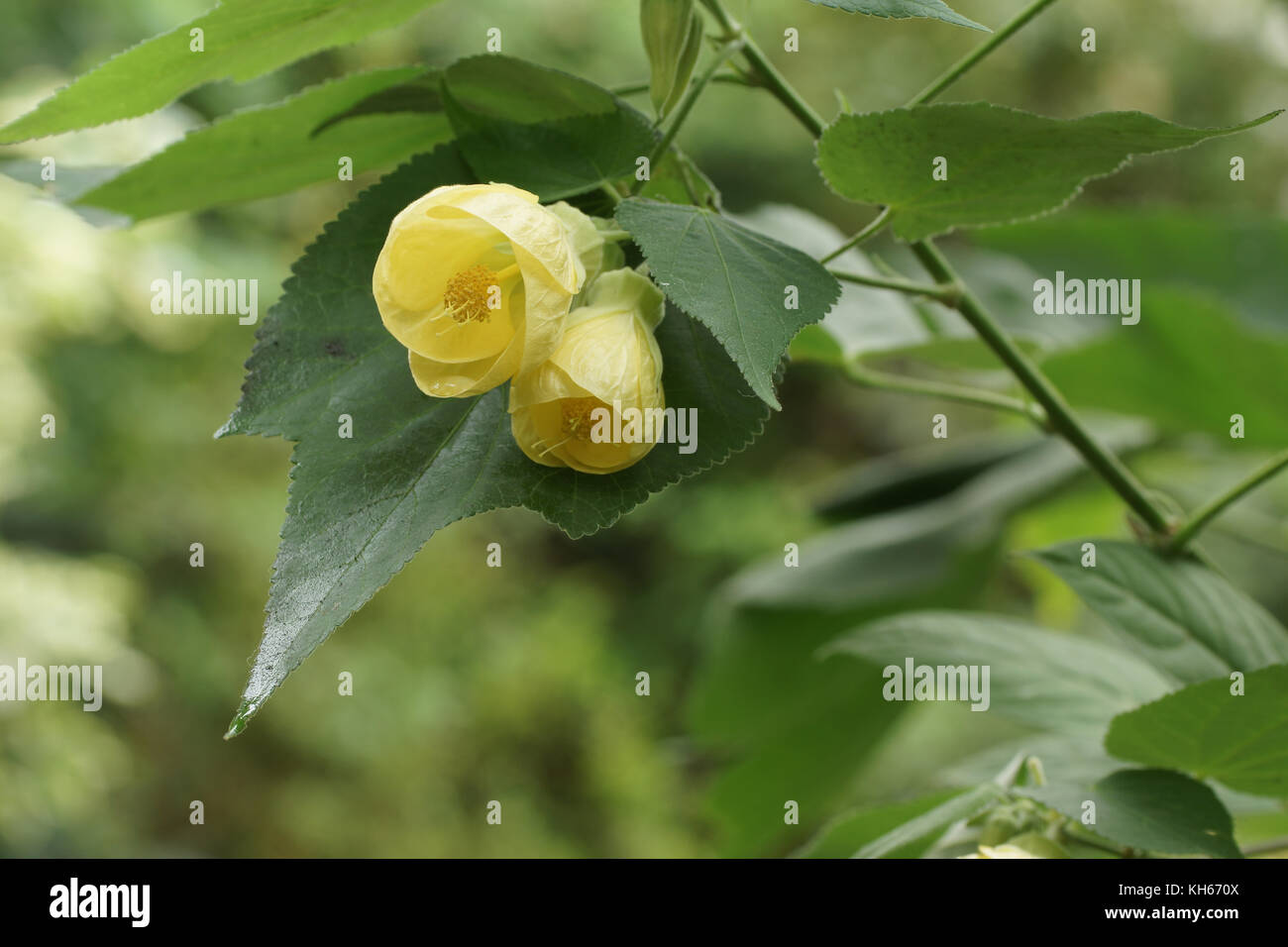 Abutilon Canary Bird Stock Photo 165479690 Alamy