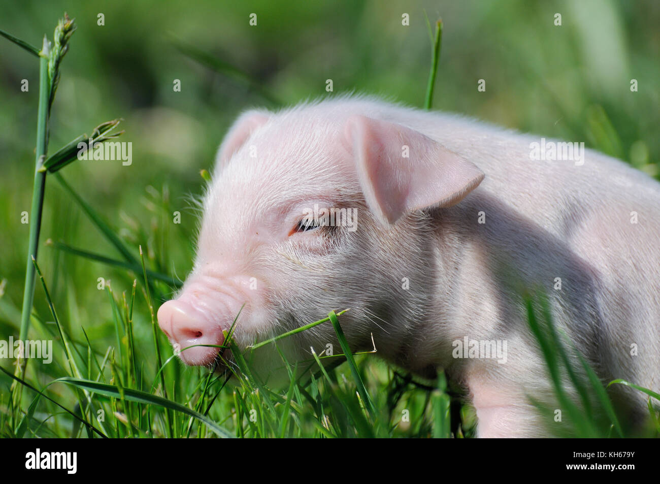 Small piglet on a green grass - Stock Image