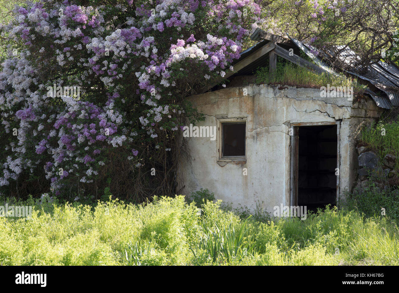 Old derelict building surrounded by flowers near Palouse region of Washington State America - Stock Image