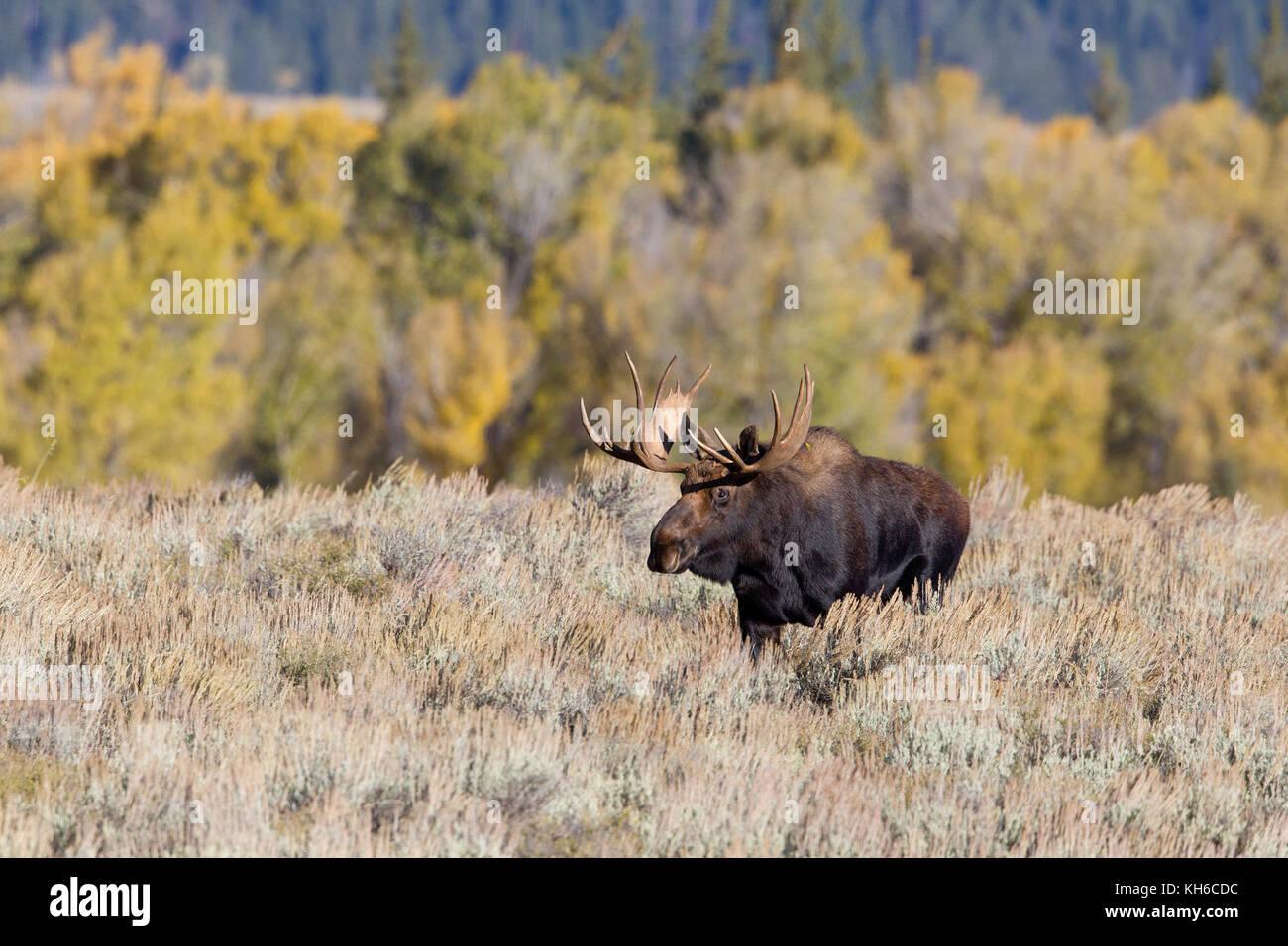 Bull Moose Stock Photo