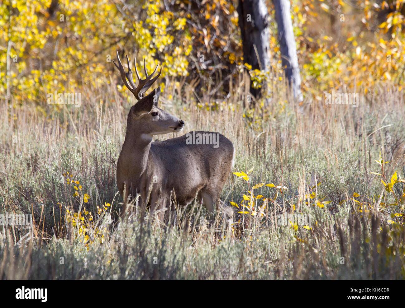 Mule Deer Buck - Stock Image