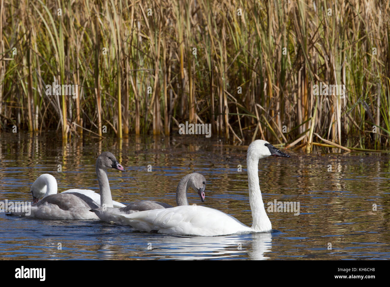 Trumpeter Swan Juveniles and Adult - Stock Image