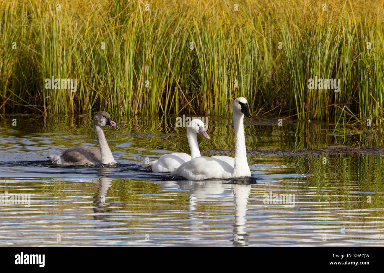Trumpeter Swans - Stock Image