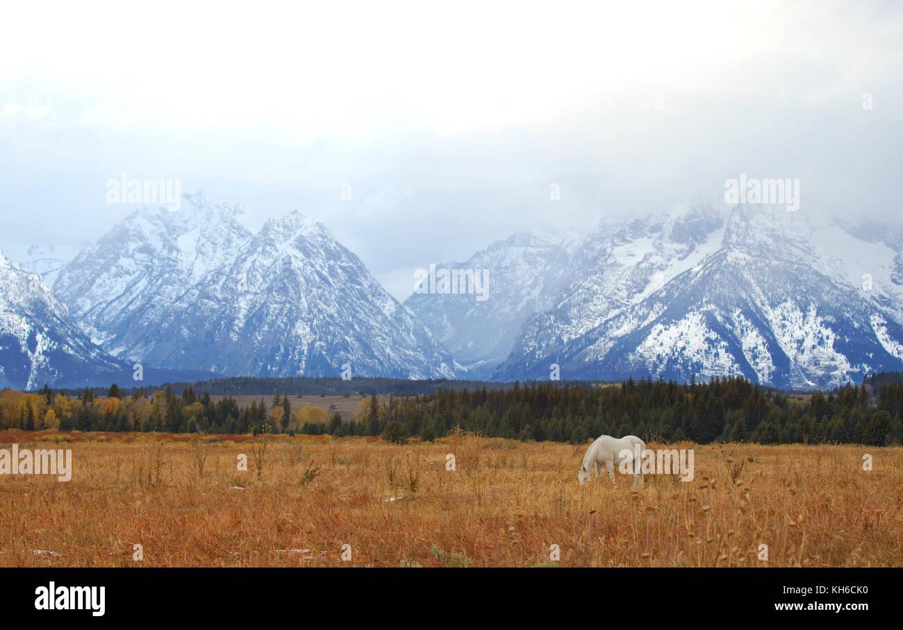 White Horse Grazing in Front of Grand Teton Mountains Stock Photo