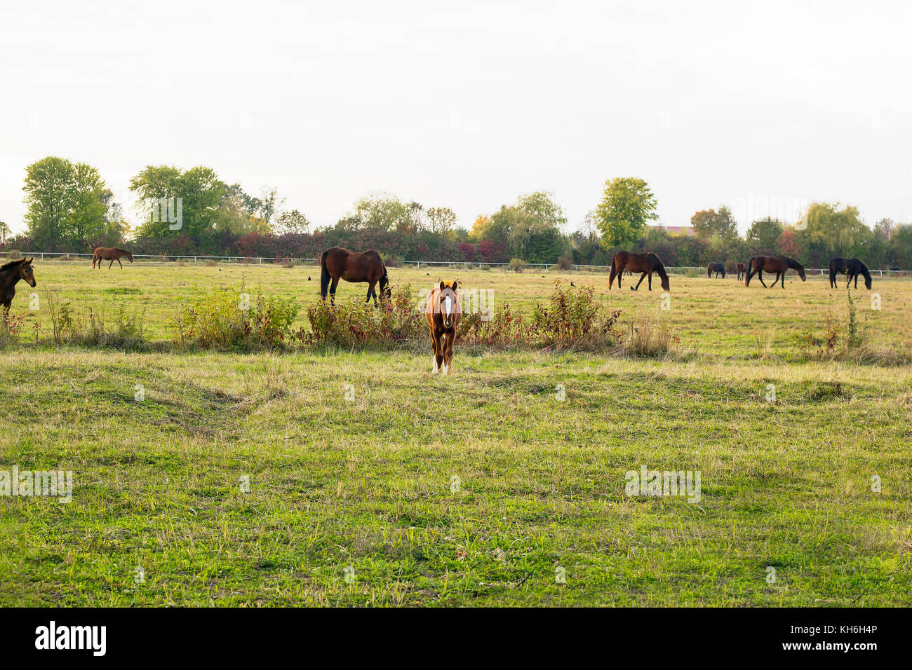 Foal and herd of horses grazing on meadow Stock Photo