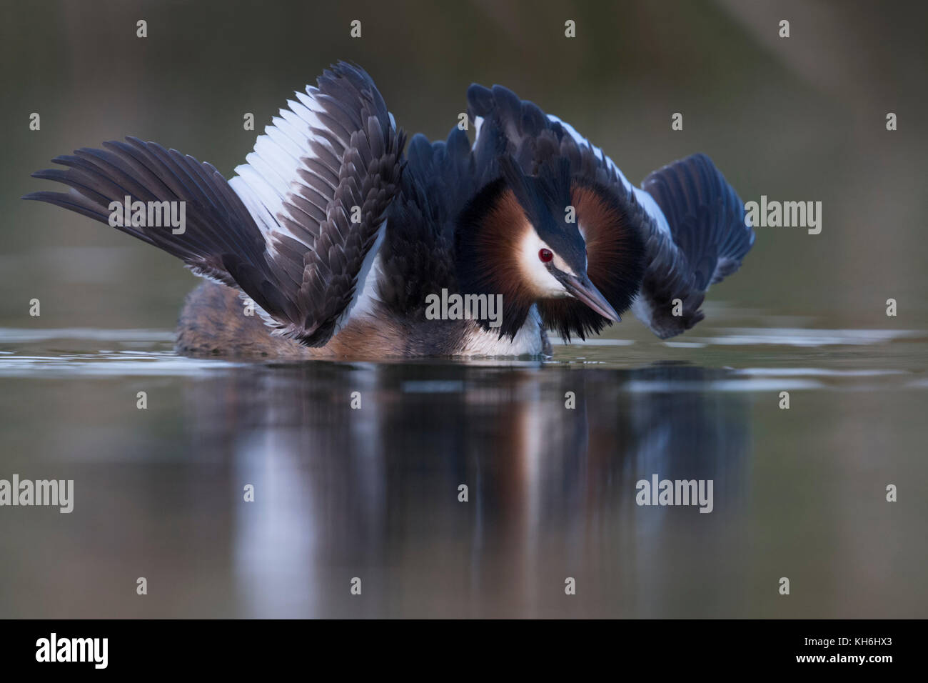 Great Crested Grebe / Haubentaucher ( Podiceps cristatus ) courting in cat display, opening its wings to impress - Stock Image