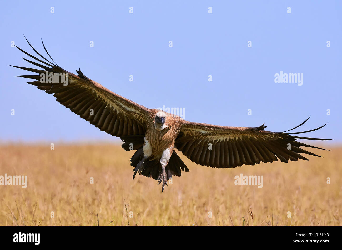 White backed vulture in landing photographed in Kenya - Stock Image