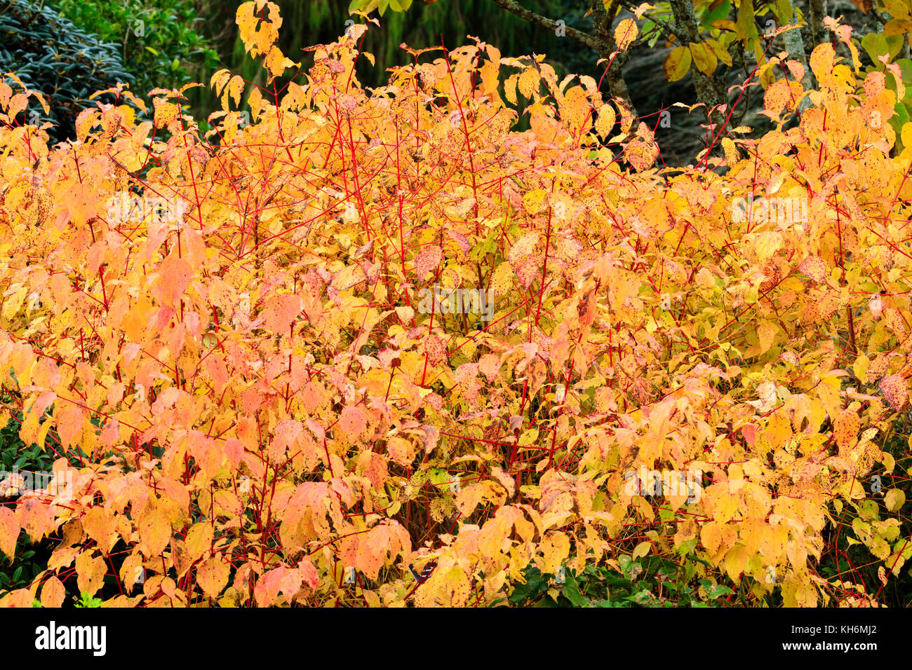 Red stems that will provide winter colour shine among the yellow Autumn foliage of the hardy Cornus sanguinea Anny's - Stock Image