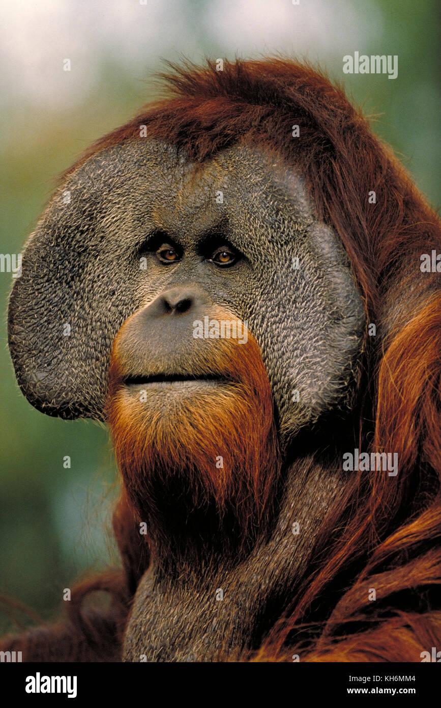 Sumatran Orangutan, Pongo abelii, endangered species, critically endangered, male - Stock Image