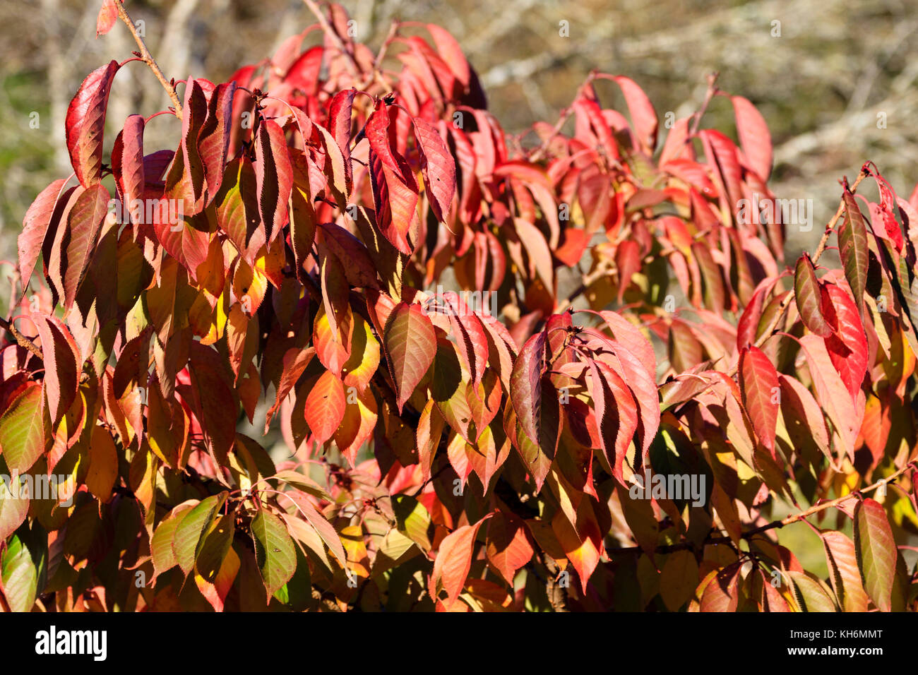 Red autumn foliage of the Great White Cherry, Prunus 'Tai Haku' - Stock Image