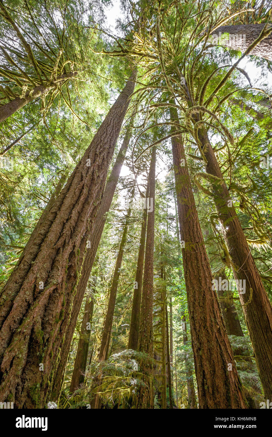 Tall trees stand tall in the forest with sun shining through in the lush wilderness of Oregon. - Stock Image